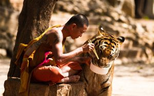 tigers-monks-buddhism-eating-1920x1200